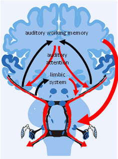 Auditory brain image